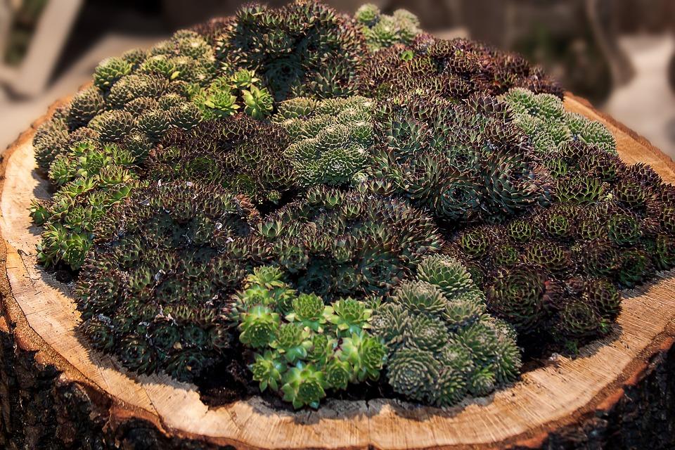 sempervivum succulent variety