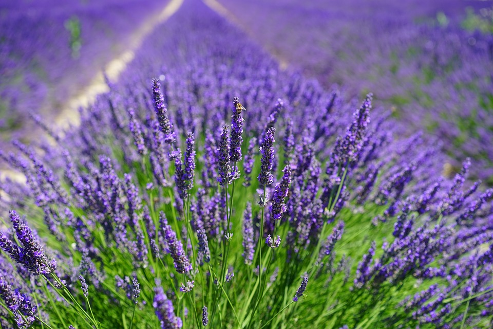 lavender-field-inflorescences