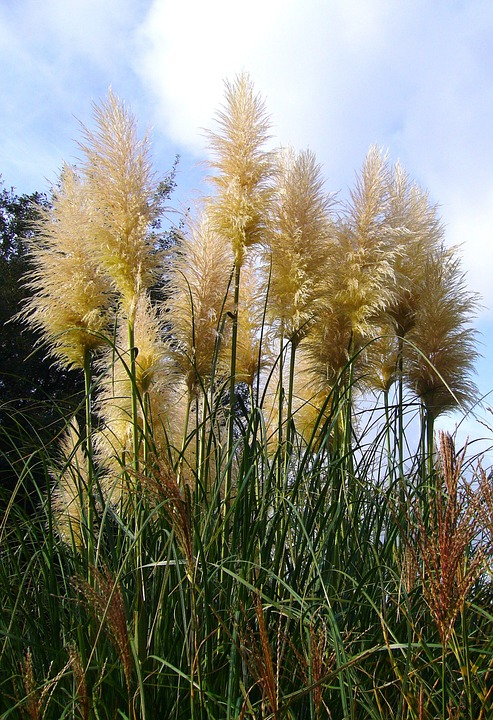 tall pampas grass